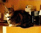 tortoiseshell cat in kitchen